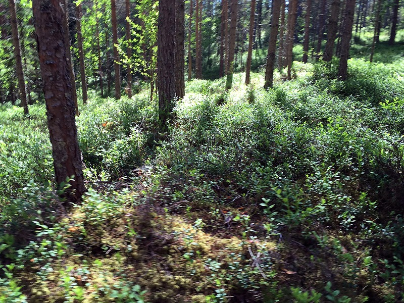 Finland: Woods: Forest floor in the Sun