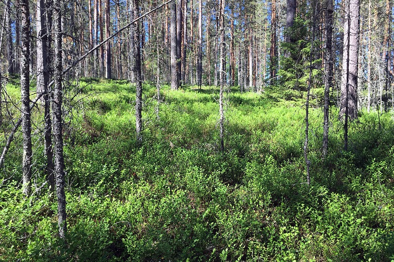 Finland: Woods: forest floor covered with blueberries