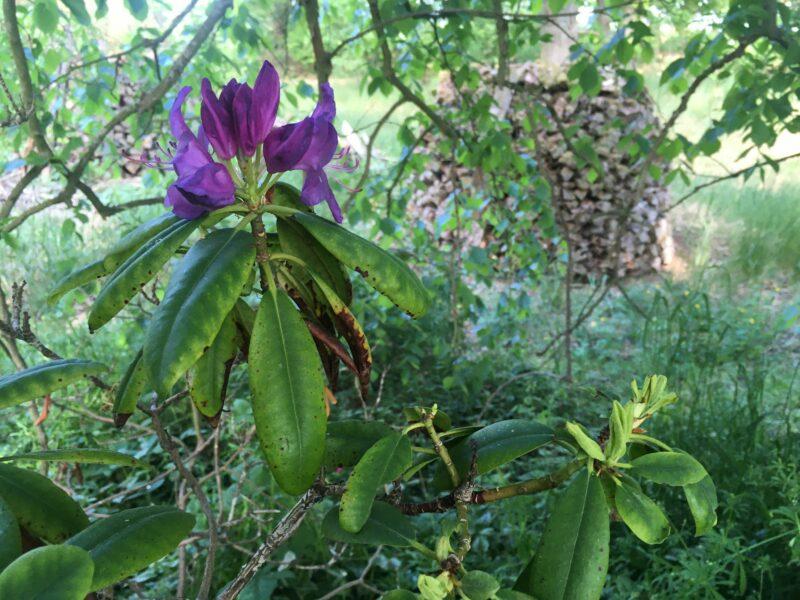 Rhododendron blossom in purple
