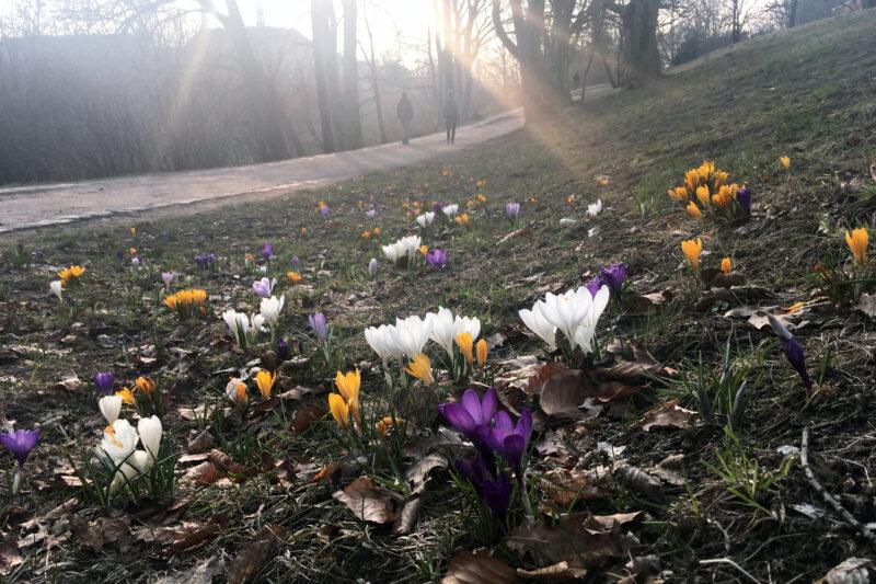 Spring, Sunshine, Crocus Blooming